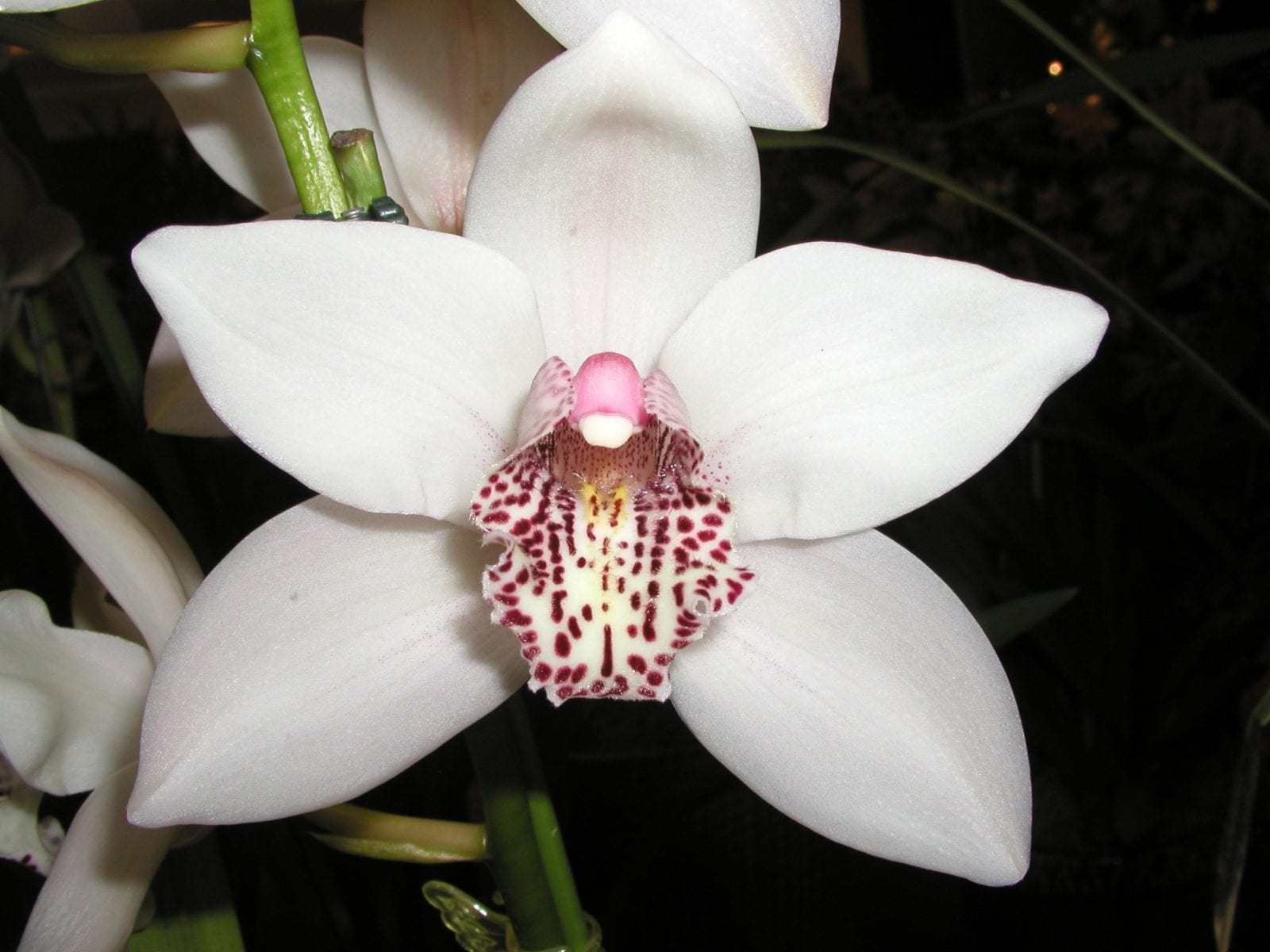 Free Cymbidium Orchid Repotting Demonstration How Orchids Rebloom