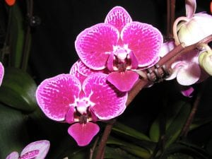 The Easiest Orchid To Rebloom As A Houseplant Is How Orchids