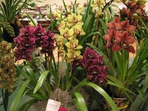 Demonstrating a grouping of blooming Cymbidium orchids