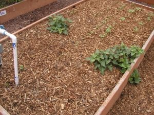 Do not use wood or bark as mulch in a vegetable garden