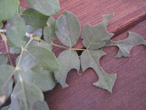 Damage resulting from Leaf Cutting Bees