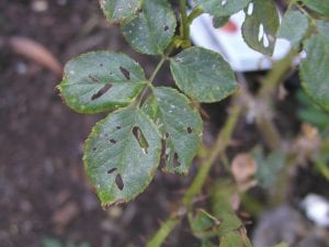 Damage to rose leaves not resulting from leaf cutting bees