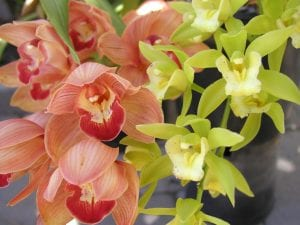 Display of Cymbidium orchid flowers