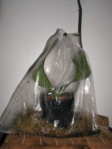 The Sphag N Bag method creates a humidity tent for reviving a wilting Phalaenopsis orchid